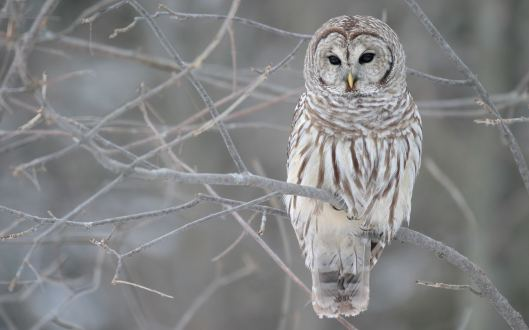 winter and the white owl